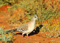 crested pigeon, michael gore