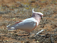 pink cockatoo, michael gore